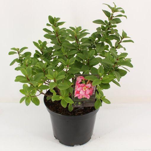 Escallonia laevis PINK ELLE (Snepvangers Tuinplanten BV)