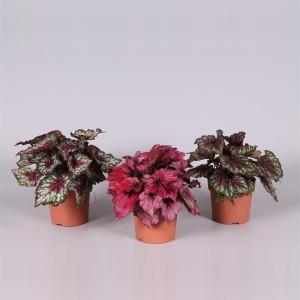 Begonia REX MIX