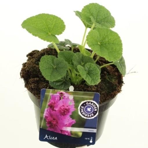 Alcea rosea CHATER'S DOUBLE MIX (Noordpoel, Kwekerij de)