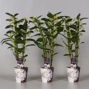 Dendrobium nobile STAR CLASS SEA MARY (De Hoog Orchids)