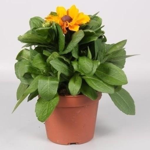 Rudbeckia fulgida (Endhoven Flowering Plants)