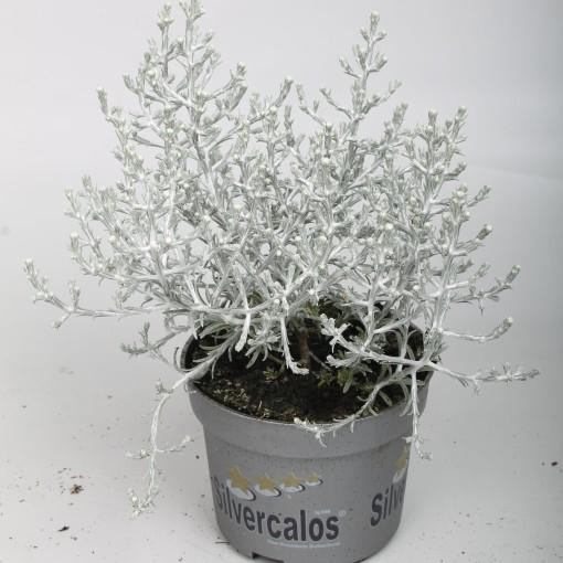 Calocephalus brownii (Rodon Rolff B.V.)