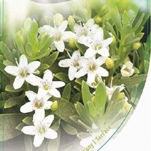 Eriostemon myoporoides 'White Star' (Dool Botanic)