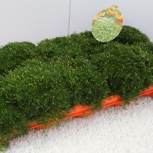 Sagina subulata (Experts in Green)