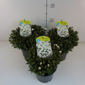 Arenaria montana BLIZZARD (Experts in Green)