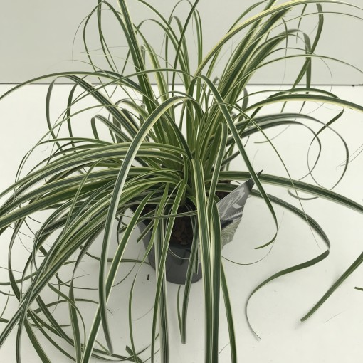 Carex 'Feather Falls' (Cammeraat Potcultuur)