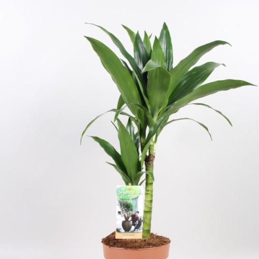 Dracaena fragrans 'Janet Craig' (Vireõ Plant Sales)