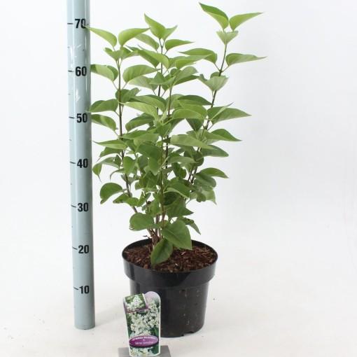 Syringa vulgaris 'Mme Lemoine' (About Plants Zundert BV)