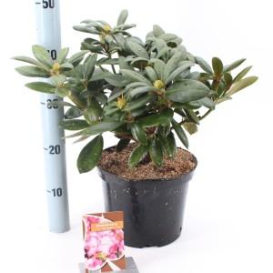 Rhododendron 'Tatjana'