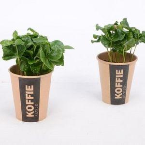 Coffea arabica (Bunnik Plants)
