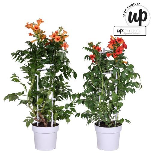 Campsis MIX (Hoogeveen Plants)