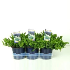 Juniperus procumbens 'Nana' (Vredebest, Kwekerij)