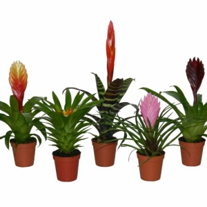 Bromelia MIX (Ammerlaan Green Innovater)