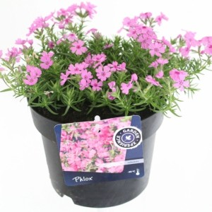 Phlox FABULOUS ROSE