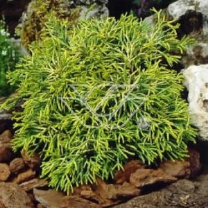 Chamaecyparis obtusa 'Tsatsumi Gold' (Bremmer Boomkwekerijen)