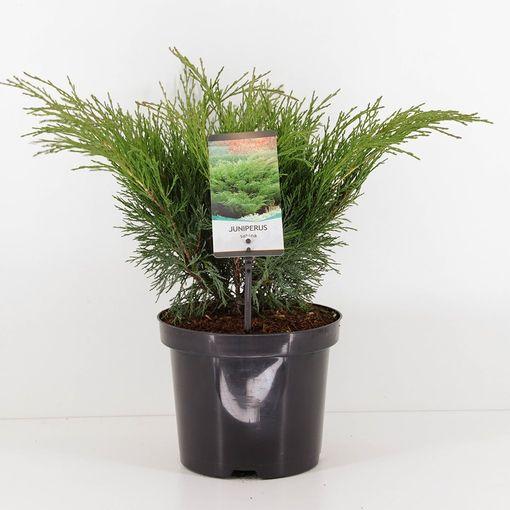 Juniperus sabina (Bremmer Boomkwekerijen)