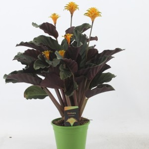 Calathea crocata 'Ventura'