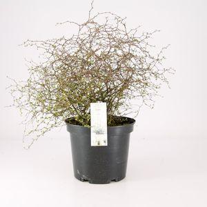 Muehlenbeckia complexa MAO'RI (Special Plant Zundert)