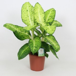 Dieffenbachia 'White Amazon'