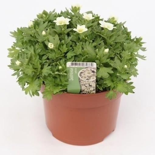 Saxifraga TOURAN WHITE (Gebr. Grootscholten)
