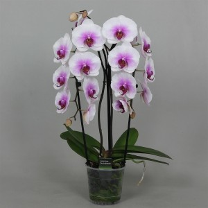 Phalaenopsis MOUNTION (Leerdam Orchideeën)