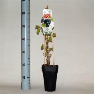 Vitis 'Schuyler' (BOGREEN Outdoor Plants)