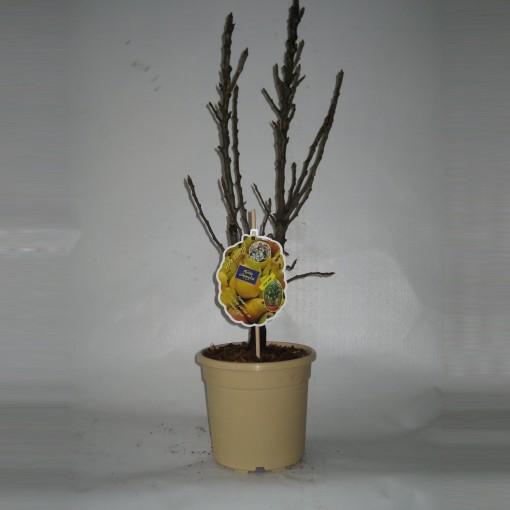 Pyrus communis (BOGREEN Outdoor Plants)