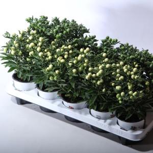 Solanum pseudocapsicum MIX