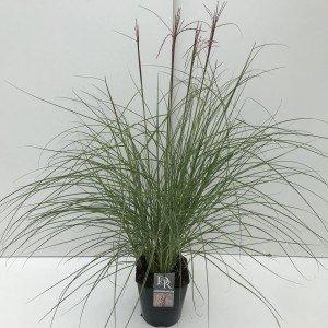 Miscanthus sinensis RED CLOUD
