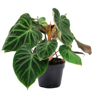 Philodendron verrucosum 'Incensi'