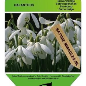 Galanthus nivalis (Gebr. Straathof)