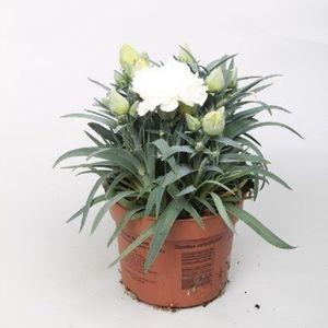 Dianthus FLOW WHITE BAY