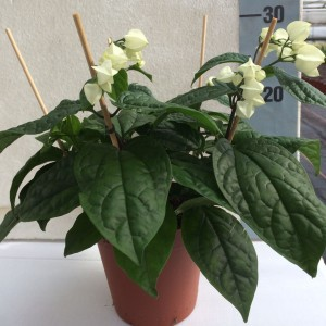 Clerodendrum thomsoniae (Experts in Green)