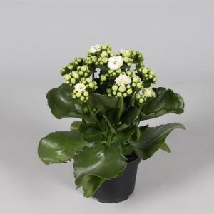 Kalanchoe blossfeldiana CALANDIVA WHITE (Amarantis)