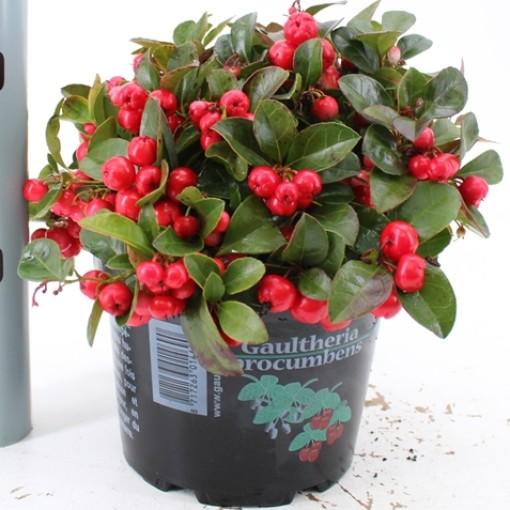 Gaultheria procumbens 'Red Diamond' (About Plants Zundert BV)