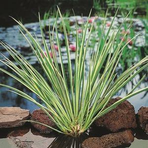 Acorus gramineus (Moerings Waterplanten)