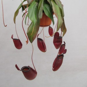 Nepenthes 'Dark Secret' (JM plants)
