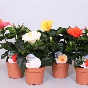 Hibiscus rosa-sinensis SUNNY MIX