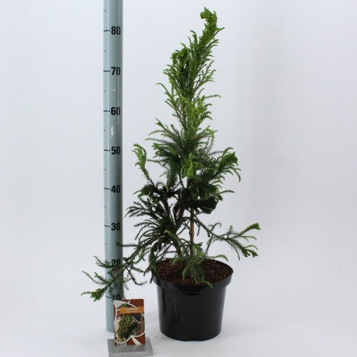 Cryptomeria japonica 'Cristata' (About Plants Zundert BV)