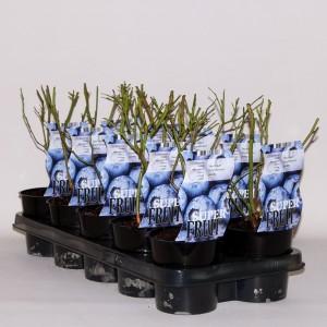 Vaccinium corymbosum 'Jersey' (BOGREEN Outdoor Plants)