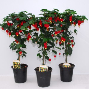 Abutilon 'Big Bell' (Experts in Green)