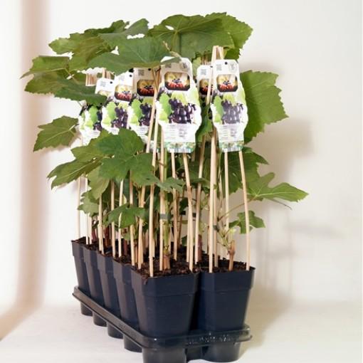 Vitis 'Mika' (BOGREEN Outdoor Plants)