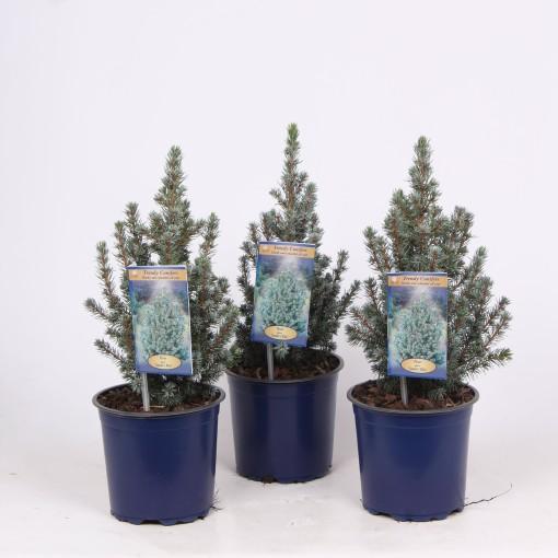 Picea glauca 'Sander's Blue' (Vredebest, Kwekerij)