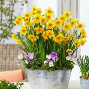 Narcissus 'Kedron' (Kwekerij MJ Komen)