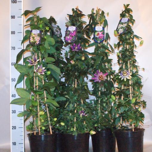 Passiflora MIX (Seuren Rozenkwekerijen BV, Gebr. )