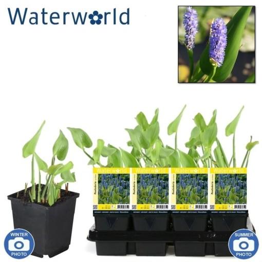 Pontederia cordata (van der Velde Waterplanten BV)