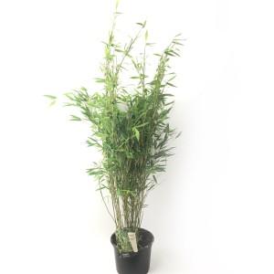 Fargesia nitida 'Gansu' (Oprins Plant)