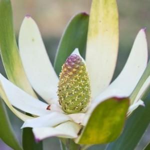 Leucadendron 'Sunshine' (Flora Toscana)