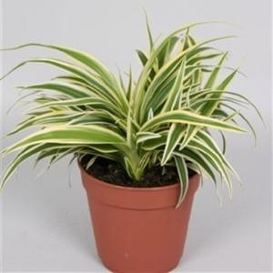 Chlorophytum laxum ZEBRINA (Handelskwekerij van der Velden)