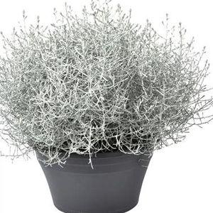 Calocephalus brownii (Vreugdenhil Bulbs & Plants)